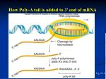 how poly a tail is added to 3 end of mrna