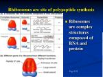 rhibosomes are site of polypeptide synthesis