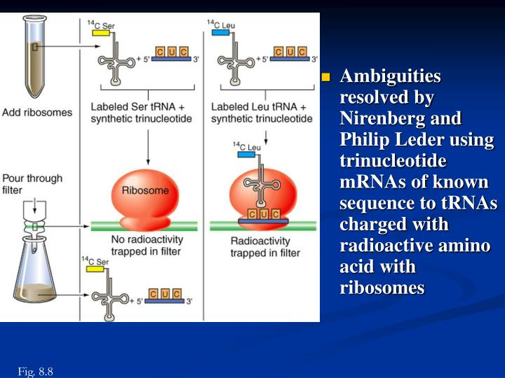 Ambiguities resolved by Nirenberg and Philip Leder using trinucleotide mRNAs of known sequence to tRNAs charged with radioactive amino acid with ribosomes