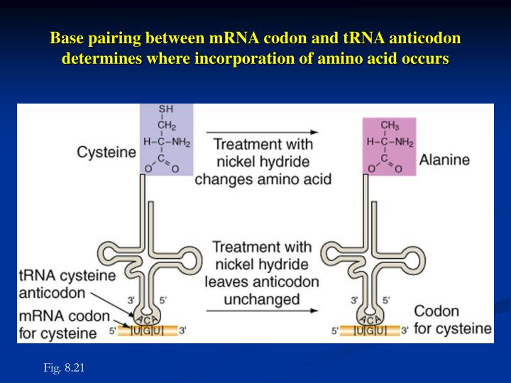 Base pairing between mRNA codon and tRNA anticodon determines where incorporation of amino acid occurs