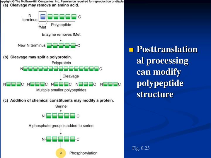 Posttranslational processing can modify polypeptide structure