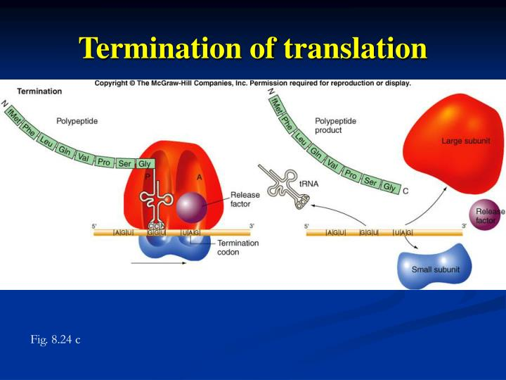 Termination of translation