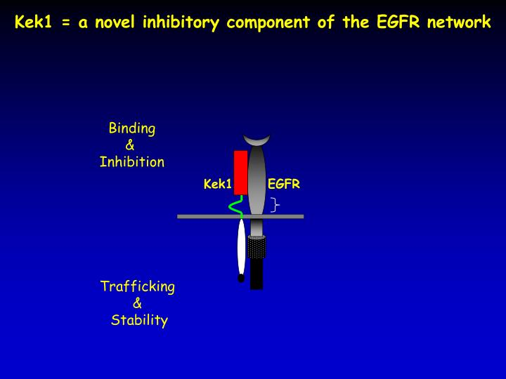 Kek1 = a novel inhibitory component of the EGFR network
