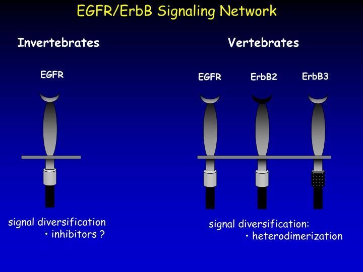 EGFR/ErbB Signaling Network