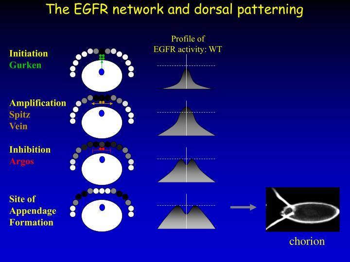 The EGFR network and dorsal patterning