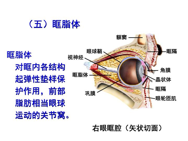 (五)眶脂体