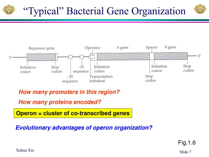 """Typical"" Bacterial Gene Organization"
