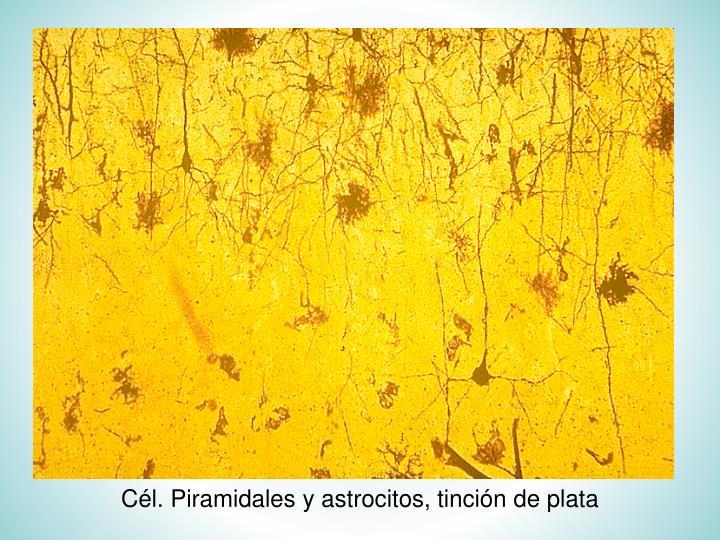 Cél. Piramidales y astrocitos, tinción de plata