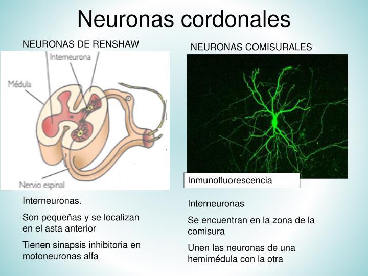 Neuronas cordonales