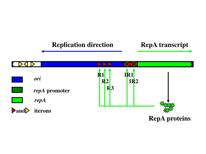 Replication direction