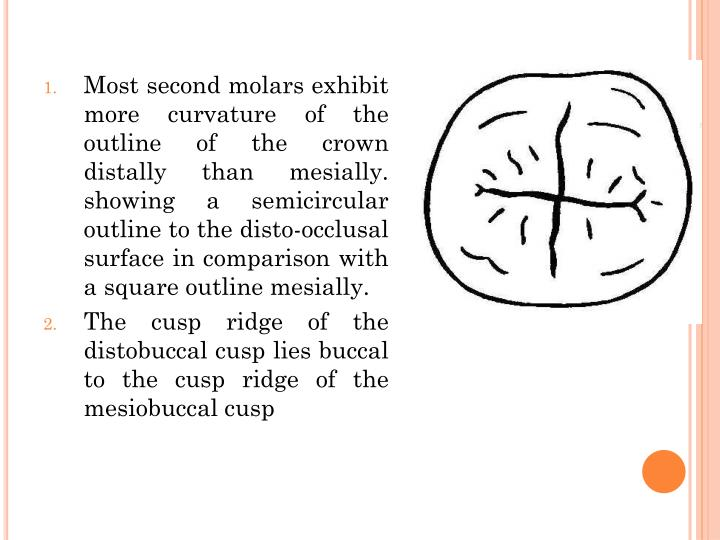 Most second molars exhibit more curvature of the outline of the crown distally than mesially. showing a semicircular outline to the disto-occlusal surface in comparison with a square outline mesially.