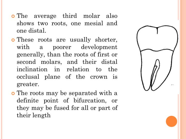 The average third molar also shows two roots, one mesial and one distal.