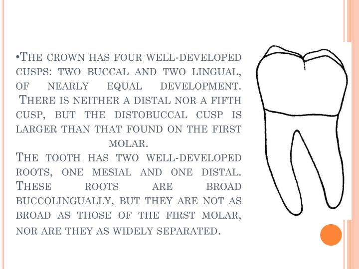 The crown has four well-developed cusps: two buccal and two lingual, of nearly equal development.