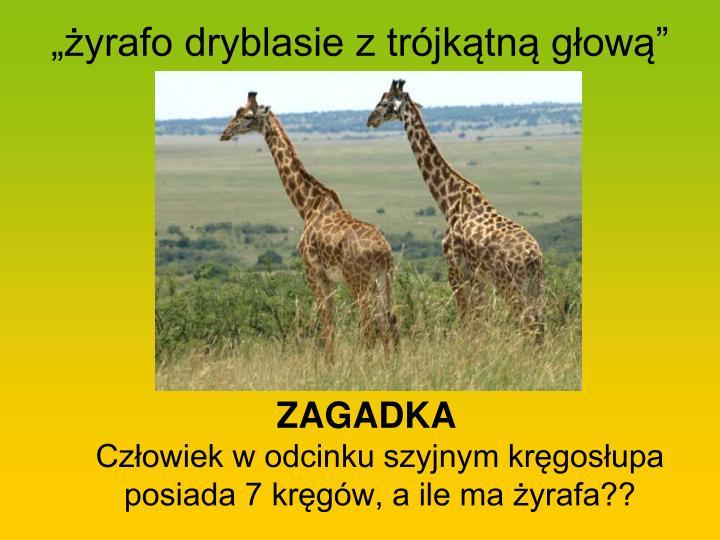 """""""żyrafo dryblasie z trójkątną głową"""""""