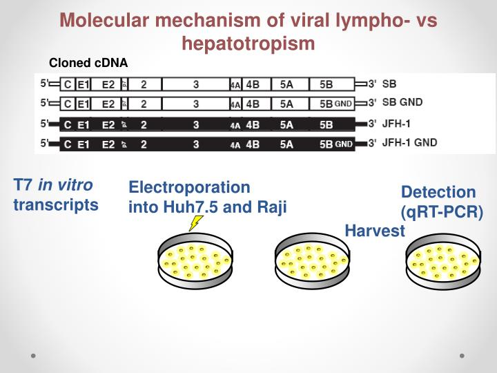 Molecular mechanism of viral lympho- vs hepatotropism