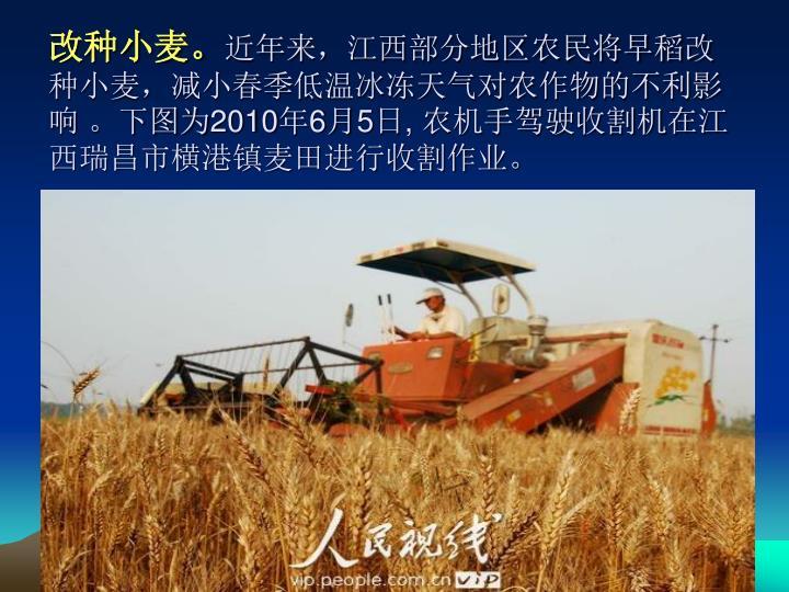 改种小麦。