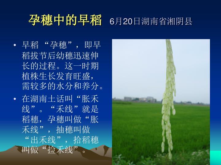 """早稻 """"孕穗"""",即早稻拔节后幼穗迅速伸长的过程。这一时期植株生长发育旺盛,需较多的水分和养分。"""
