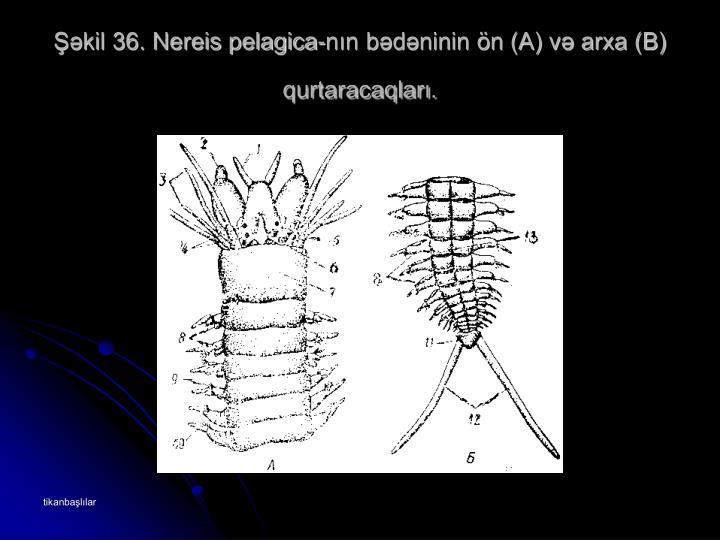 Şəkil 36. Nereis pelagica-nın bədəninin ön (A) və arxa (B) qurtaracaqları.