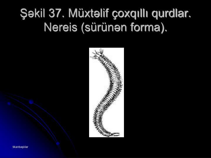 Şəkil 37. Müxtəlif çoxqıllı qurdlar. Nereis (sürünən forma).