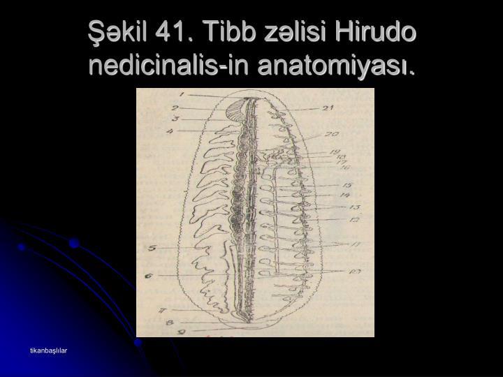 Şəkil 41. Tibb zəlisi Hirudo nedicinalis-in anatomiyası.