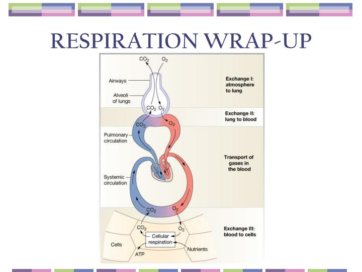 RESPIRATION WRAP-UP