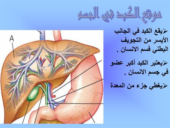 موقع الكبد في الجسم
