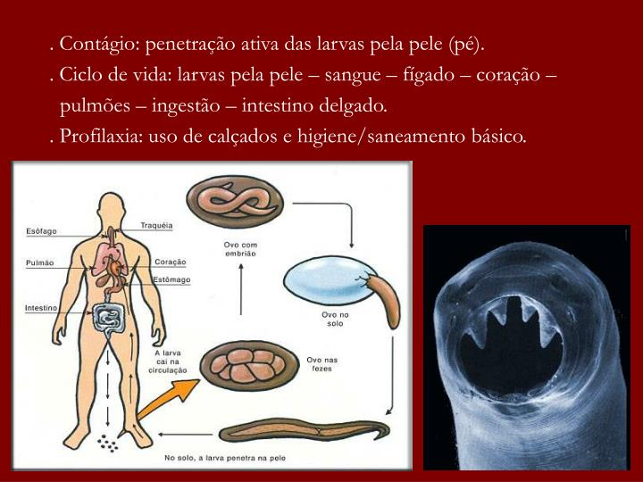. Contágio: penetração ativa das larvas pela pele (pé).