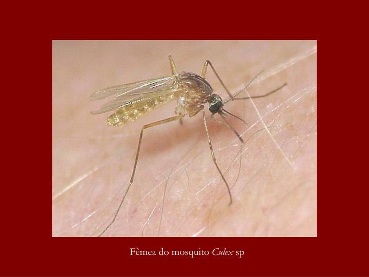 Fêmea do mosquito