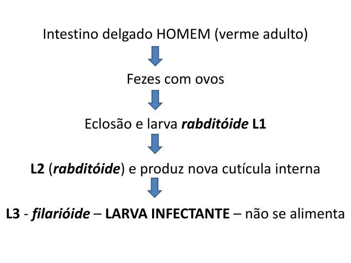 Intestino delgado HOMEM (verme adulto)