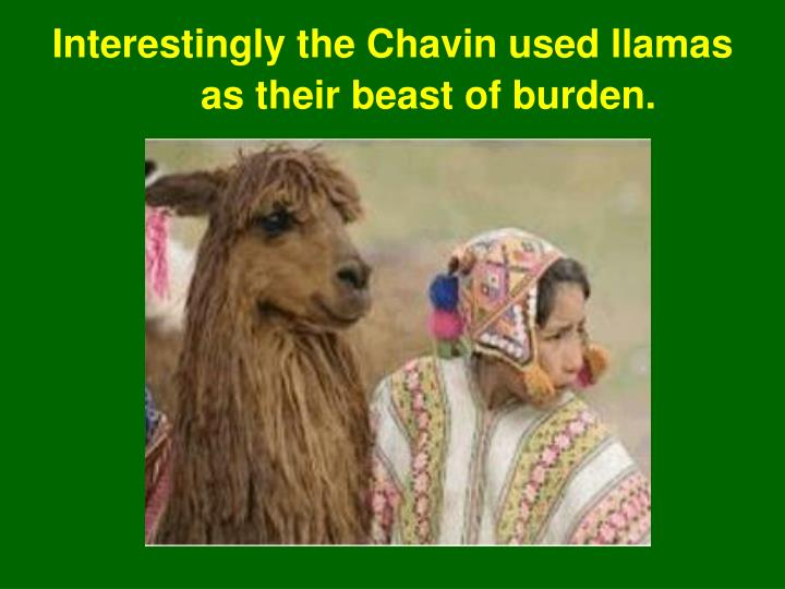 Interestingly the Chavin used llamas as their beast of burden.