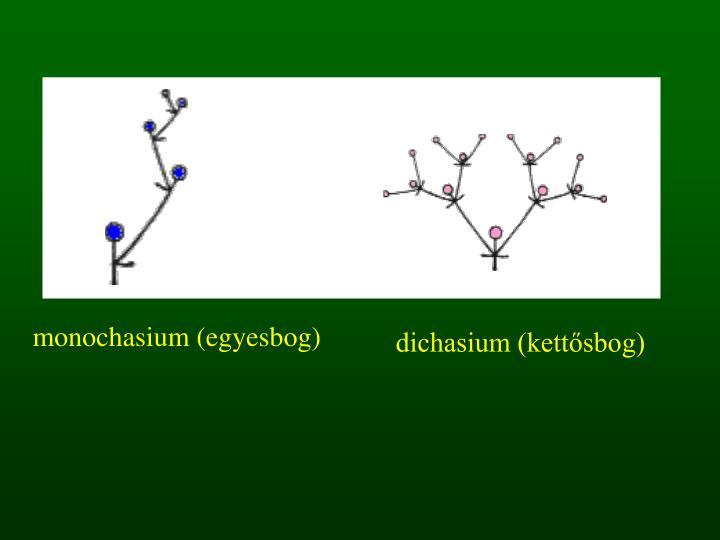 monochasium (egyesbog)
