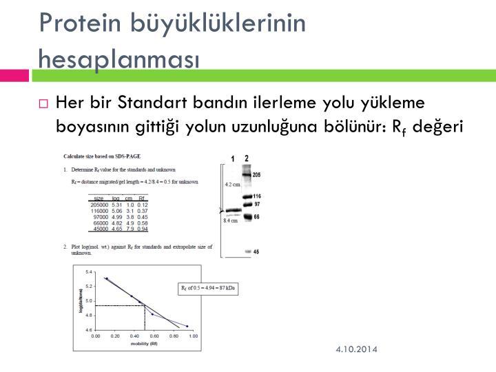 Protein büyüklüklerinin hesaplanması
