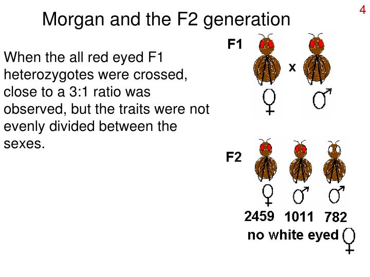 Morgan and the F2 generation