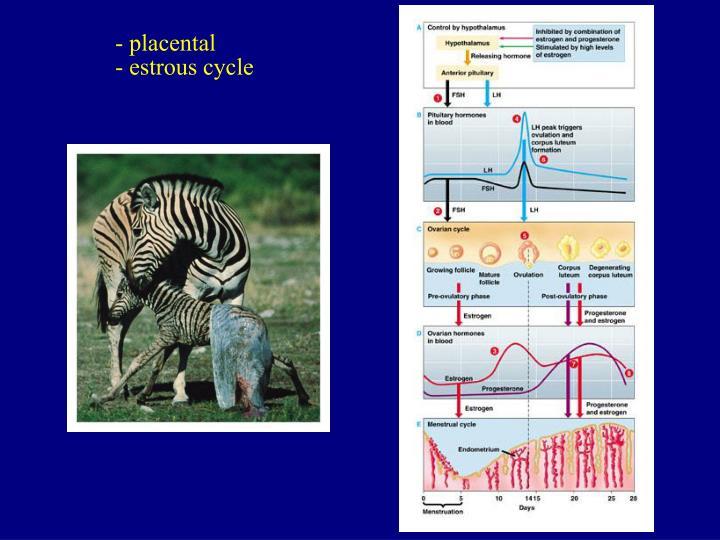 - placental