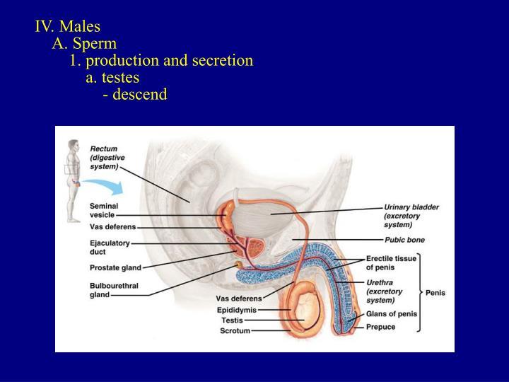 IV. Males