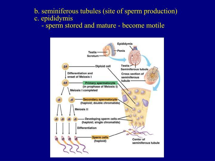 b. seminiferous tubules (site of sperm production)