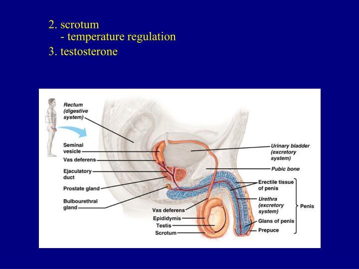 2. scrotum