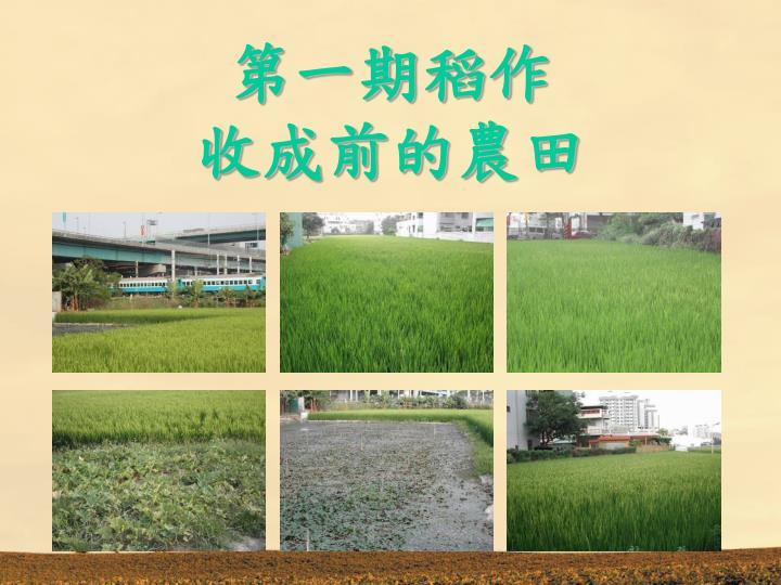 第一期稻作