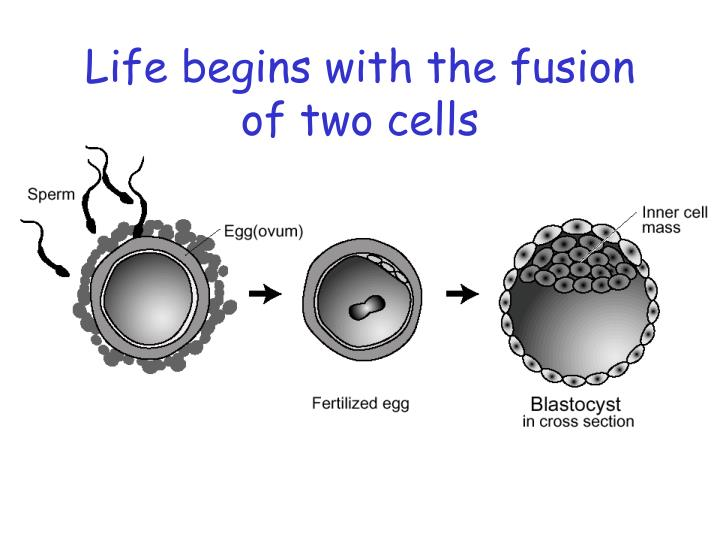 Life begins with the fusion of two cells