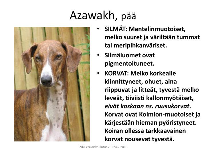 Azawakh,