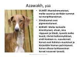azawakh p2