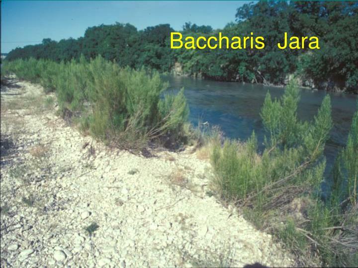 Baccharis  Jara