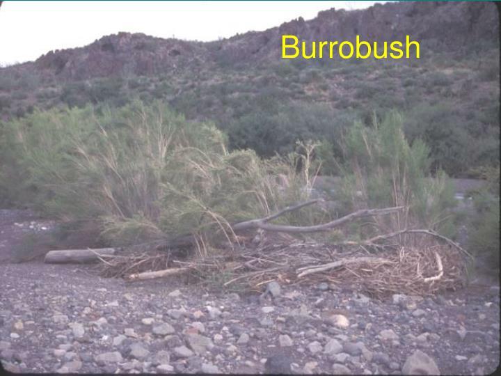 Burrobush