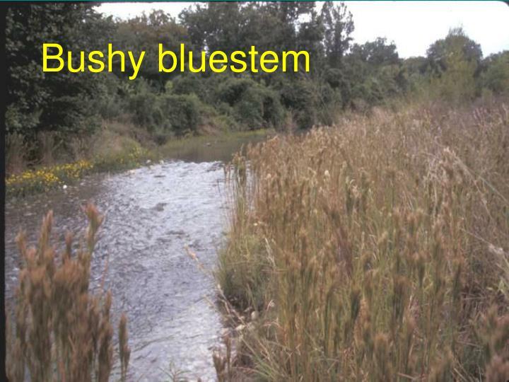 Bushy bluestem