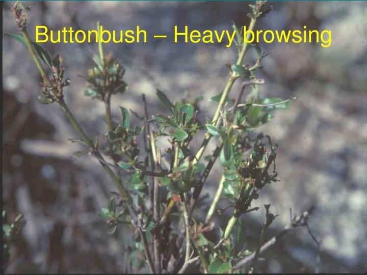 Buttonbush – Heavy browsing