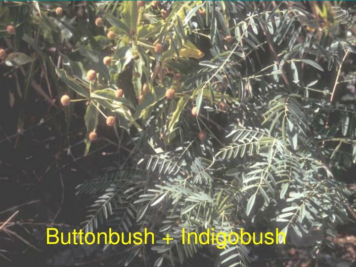 Buttonbush + Indigobush