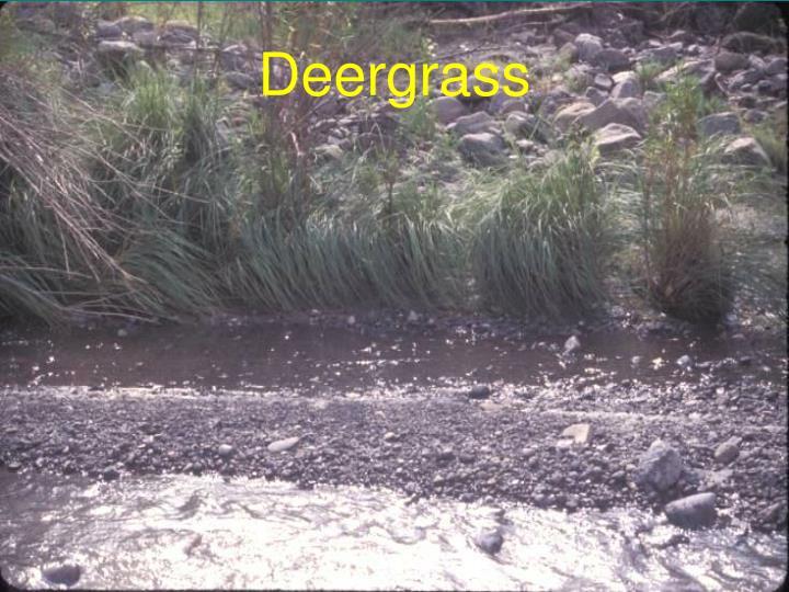 Deergrass