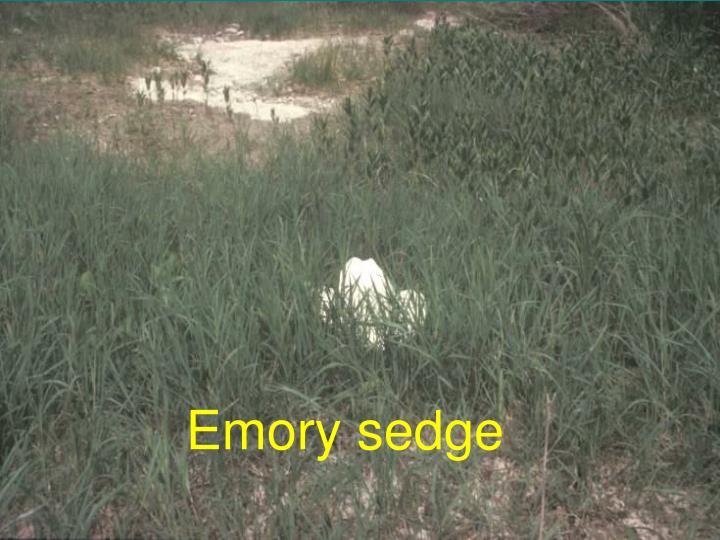 Emory sedge