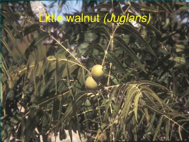 Little walnut