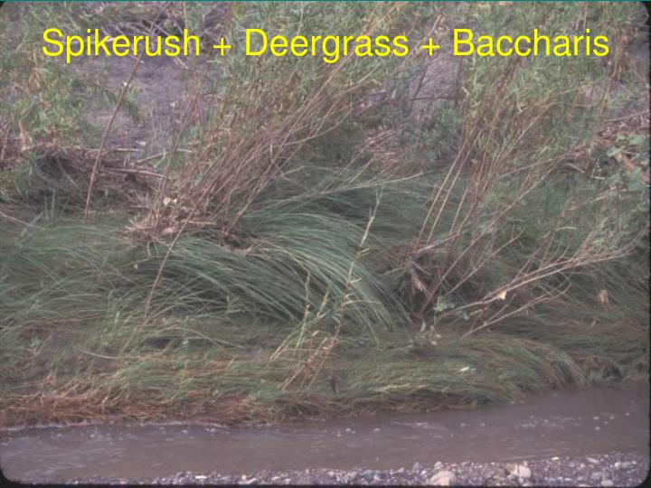 Spikerush + Deergrass + Baccharis